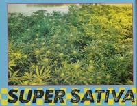 Super Sativa Seed Club and the origin of their legendary genetics.