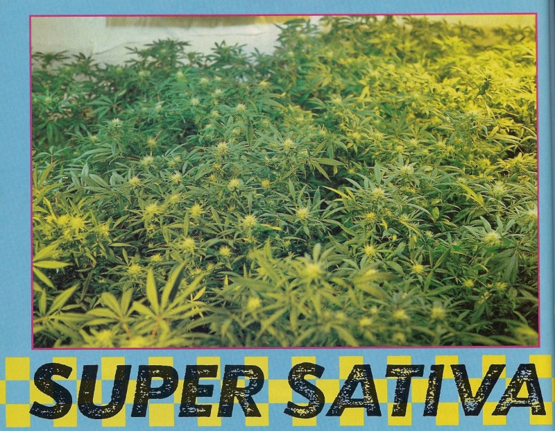 Super Sativa Seed Club and the origin of the legend
