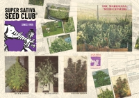 Super Sativa Seed Club. Regular seeds, old genetics, old school.