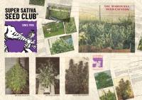 Super Sativa Seed Club. Old School Genetics.